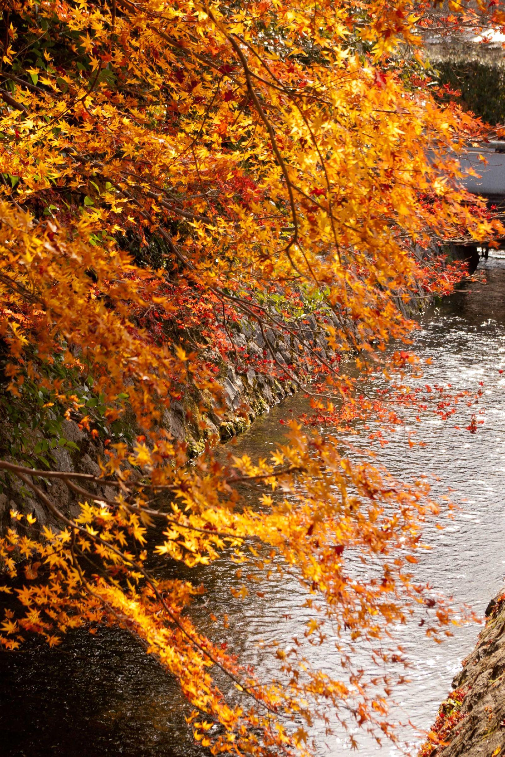 紅葉と疏水