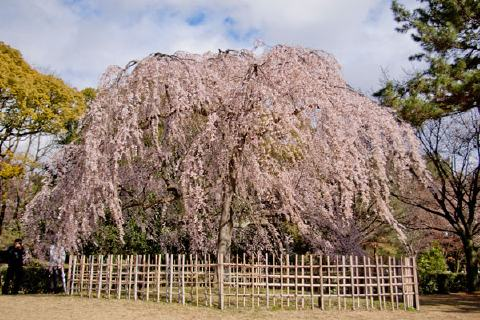 見事な桜の大木