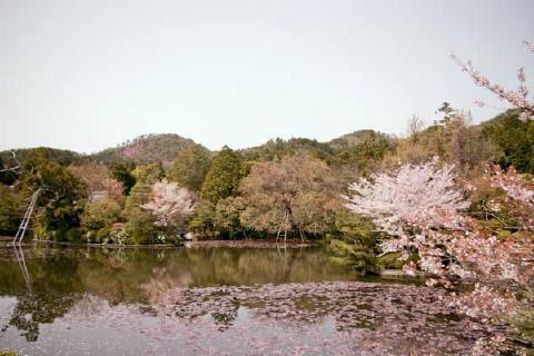 春の龍安寺