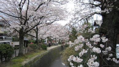 京都のおすすめ桜スポット 1哲学の道とインクライン