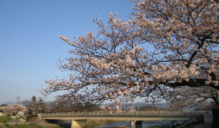 京都のおすすめ桜スポット 6鴨川