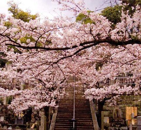 京都のおすすめ桜スポット 3真如堂と金戒光明寺