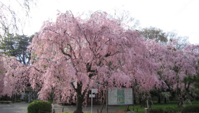 京都のおすすめ桜スポット 5二条城