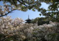 京都のおすすめ桜スポット 9御室仁和寺 10円山公園
